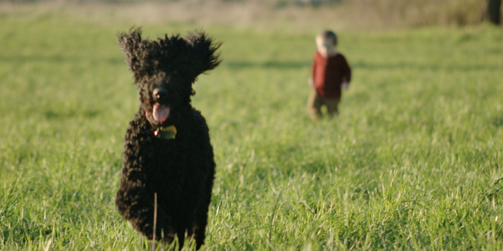 Binty AKC Standard Poodle Field Running Child